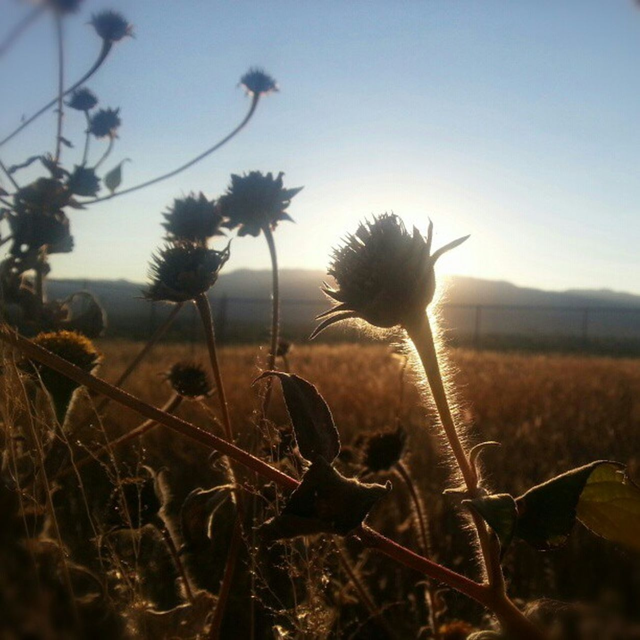 growth, nature, field, plant, tranquility, beauty in nature, outdoors, no people, landscape, flower, sunset, rural scene, sky, day, clear sky, grass, fragility, thistle, close-up, freshness