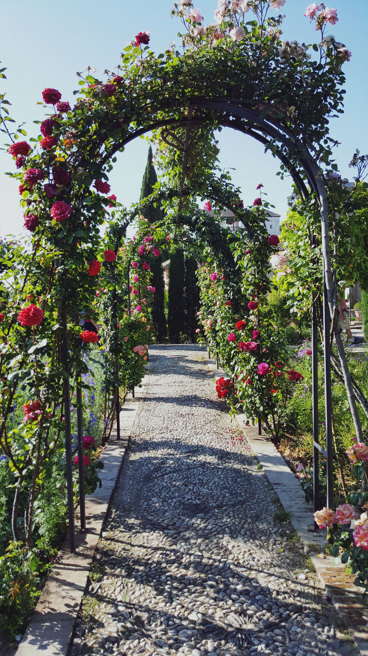 Beautiful stock photos of roses,  Arbor,  Day,  Flower,  Footpath
