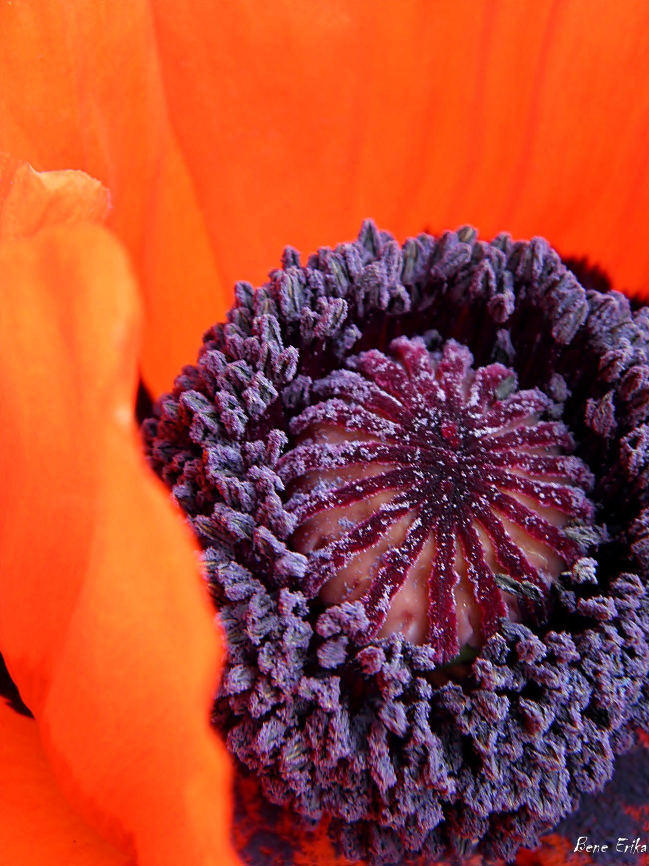 Macro Beauty Karpathian Poppy Poppy Flowers EyeEm Gallery Eyemflowerlover Eyemphotography Red