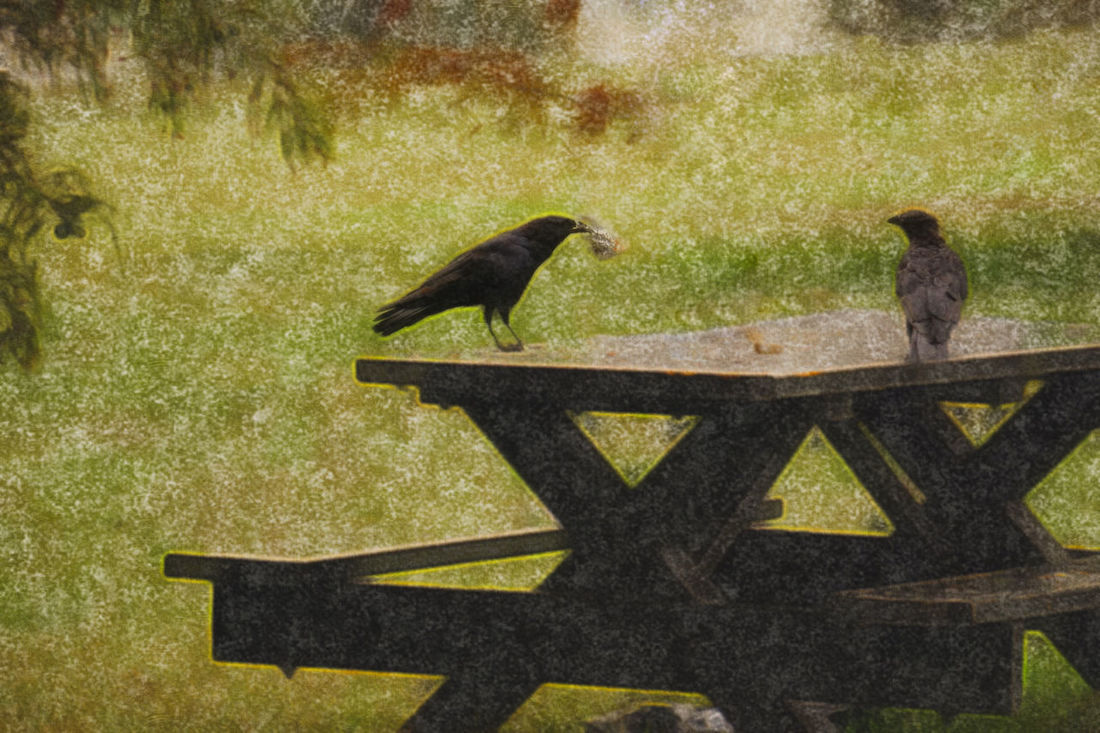 The Corvids' Picnic Picnic Corvid Corvidae Crows Picnic Time ♡ Washington DC The Weekend On EyeEm A Point Of Irony In The Middle Of The Weekend EyeEm Birds Bird Photography