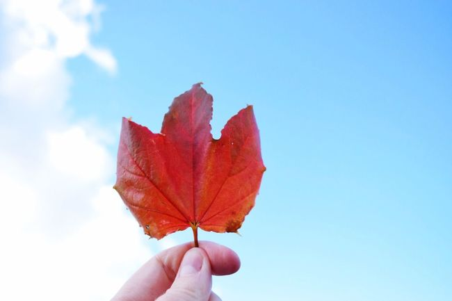 Canada | Leaf Autumn Season  Person Hand Leaf Vein Outdoors Nature Nature_collection Clouds And Sky Sky Outdoor Photography Taking Photos Eye4photography  EyeEm Gallery Exploring Minimalism Beauty In Nature Tranquility Blue Autumn Colors Autumn Leaves Autumn🍁🍁🍁 TakeoverContrast Dramatic Angles