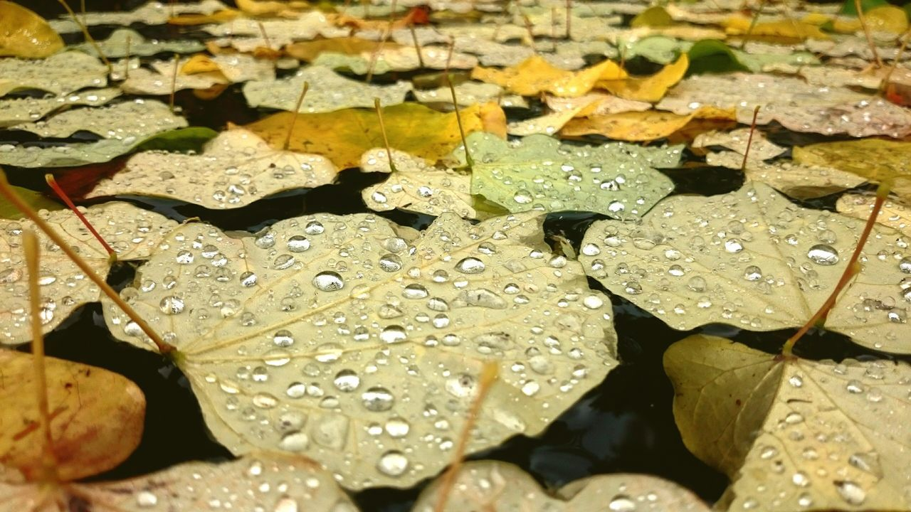 Rainy these days | Water Leaf Nature Wet Outdoors Beauty In Nature Fragility Floating On Water Close-up No People EyeEm Best Shots Focus On Foreground Autumn Lake Fall Herbst Fallen Leaves Water Leaf Wet No People Rain Raindrops Rainy Weather