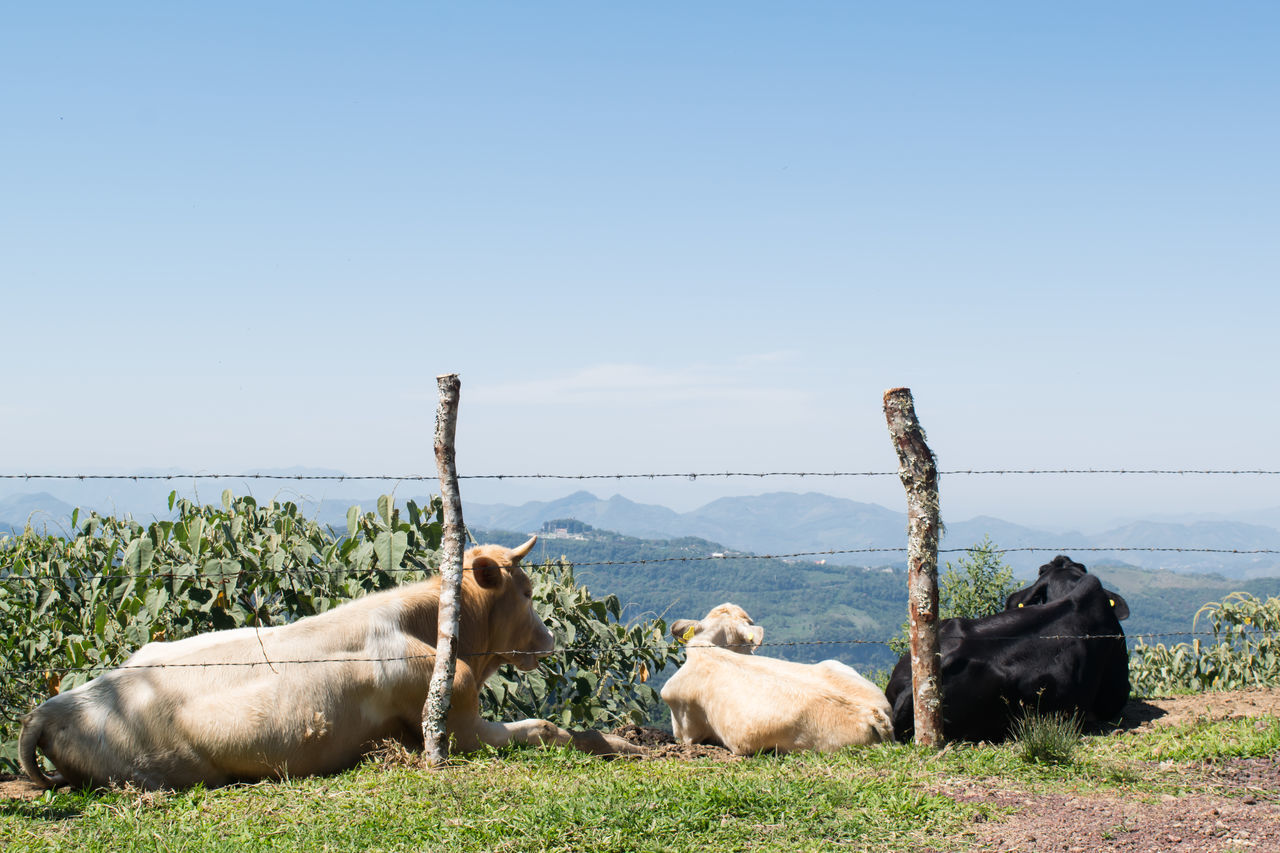 A peace moment Animal Themes Cows Cows Grazing Cows In A Field Day Domestic Animals Mammal Nature No People Outdoors Paisaje Paisaje Rural  Rural Scene Sky Togetherness Vacations