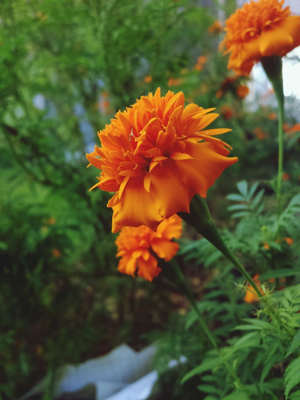 flower, beauty in nature, nature, growth, petal, orange color, plant, fragility, no people, freshness, focus on foreground, blooming, flower head, outdoors, close-up, day, marigold