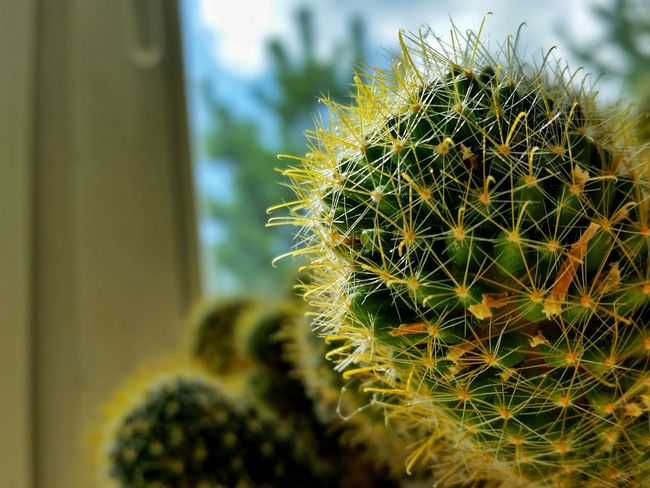 Beauty In Nature Cactus Close-up Day Flower Head Growth Nature No People Outdoors Plant Sky Spiky