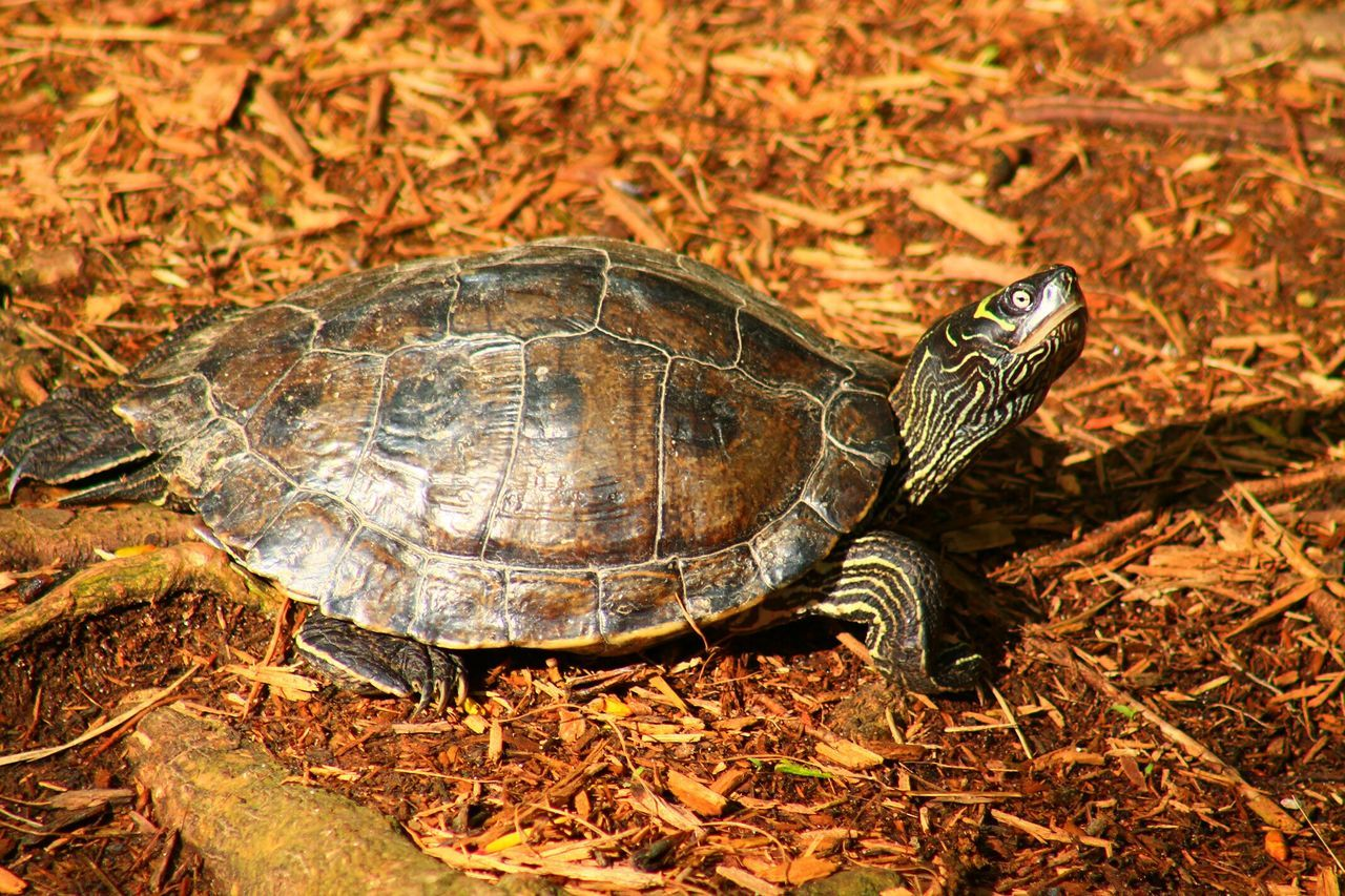 Beautiful stock photos of turtle, Animal Shell, Animal Themes, Animals In The Wild, Day