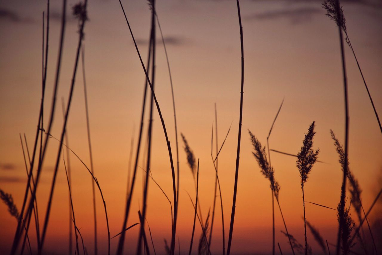 Close-up Of Silhouette Grass Against Orange Sky During Sunset