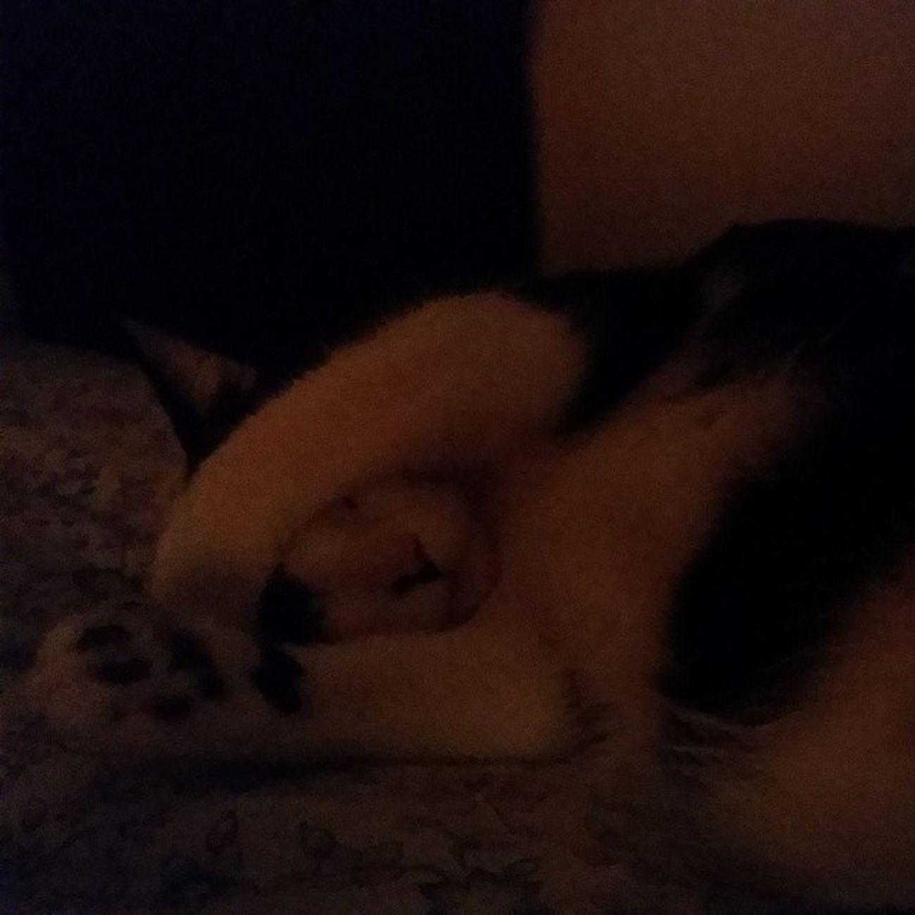 Good night from Ming Ming ??? Themingming Blackandwhitecats Familiar Lazycatdaze sleepybaby bedofcats catsofinstagram cats catscatscats fiercefelines