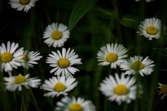 Nature Nature Photography Daisy Flowers Wild Medow Nikon Nikonphotography Nikond7200