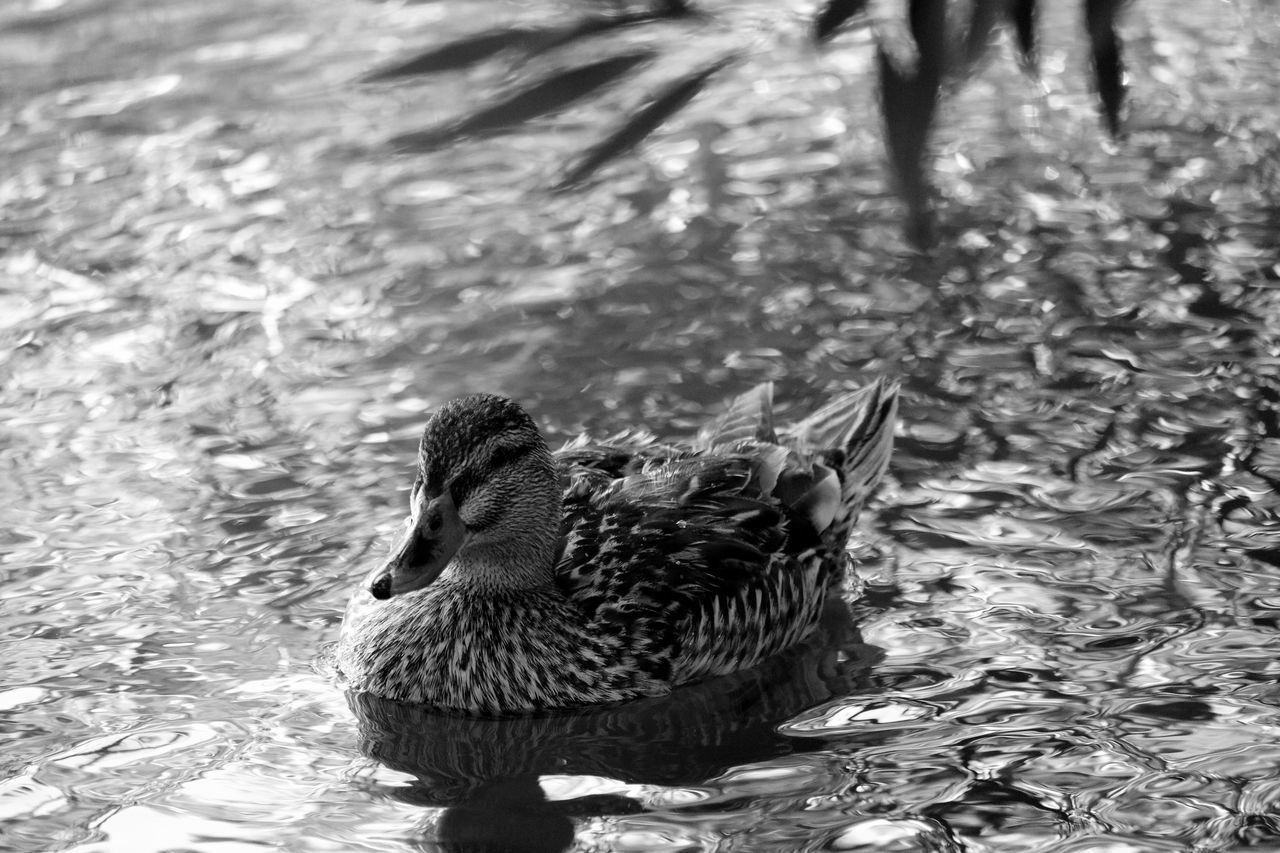animal themes, animals in the wild, one animal, bird, water, duck, animal wildlife, nature, swimming, day, lake, waterfront, water bird, outdoors, no people, close-up, beauty in nature