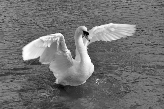Swan Swans Animals Animal Blackandwhite Blackandwhite Photography Black And White Black And White Photography Black & White Birds Bird Bird Photography Birds_collection