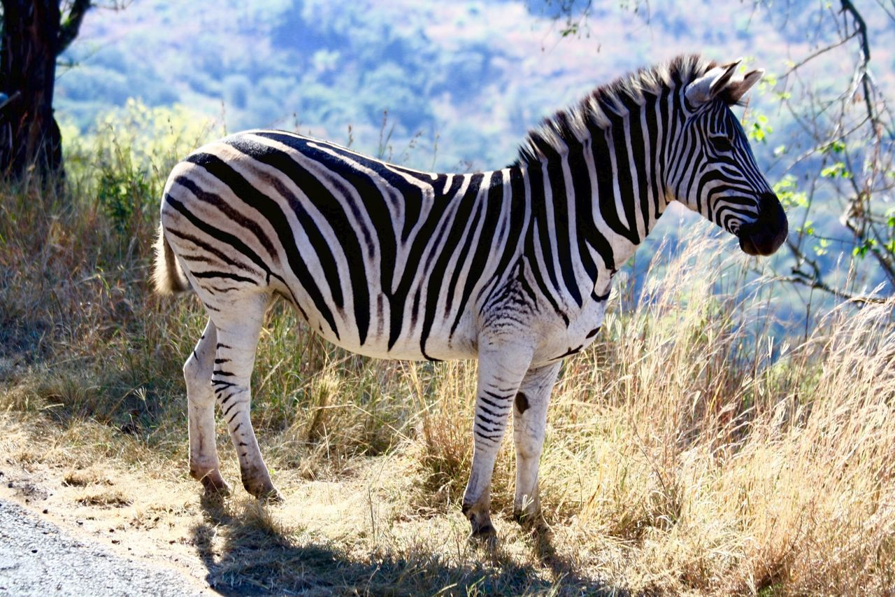 Beautiful stock photos of zebra, Animal Markings, Animal Themes, Animals In The Wild, Day