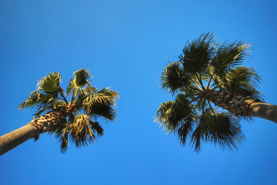 Palm Tree Low Angle View Tree Clear Sky Blue Growth Nature Day Outdoors Palm Frond Branch Sky Palm Trees Palm Tree Palmtree Palmtrees Palms Low Angle View Low Angle Lookingup Looking Up Tree Tops Tree Tops And The Sky Palm Tree Leaves Palm Tree And Sky