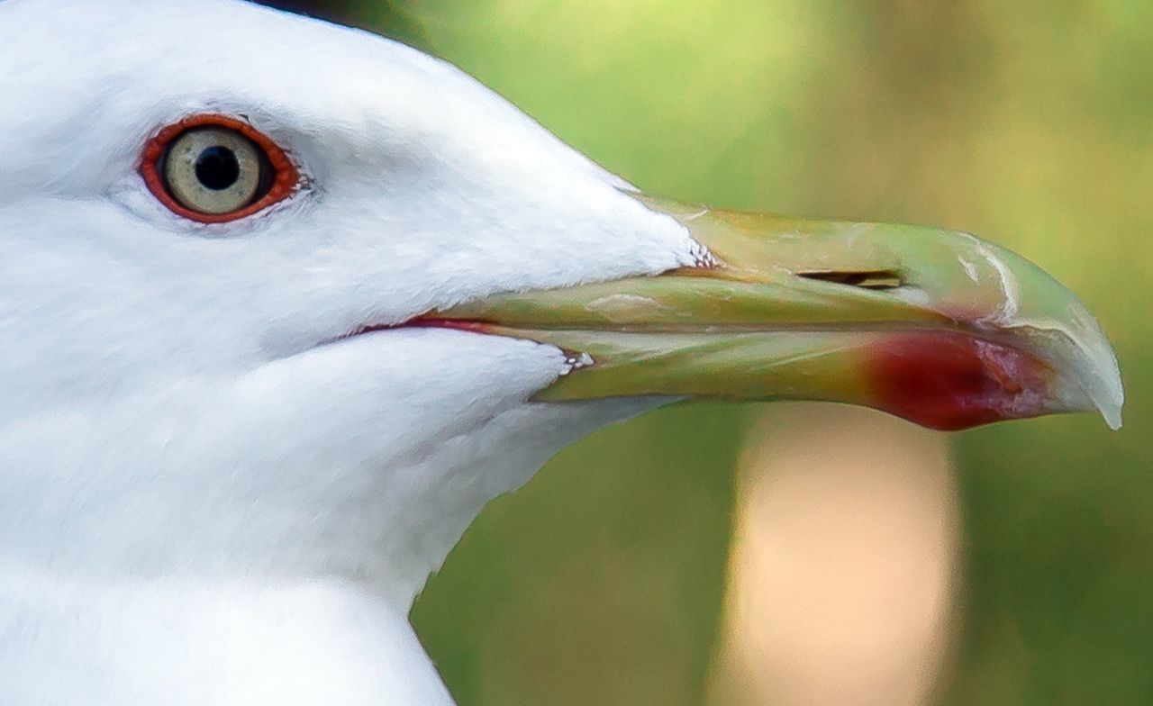 Animal Animal Themes Seagull