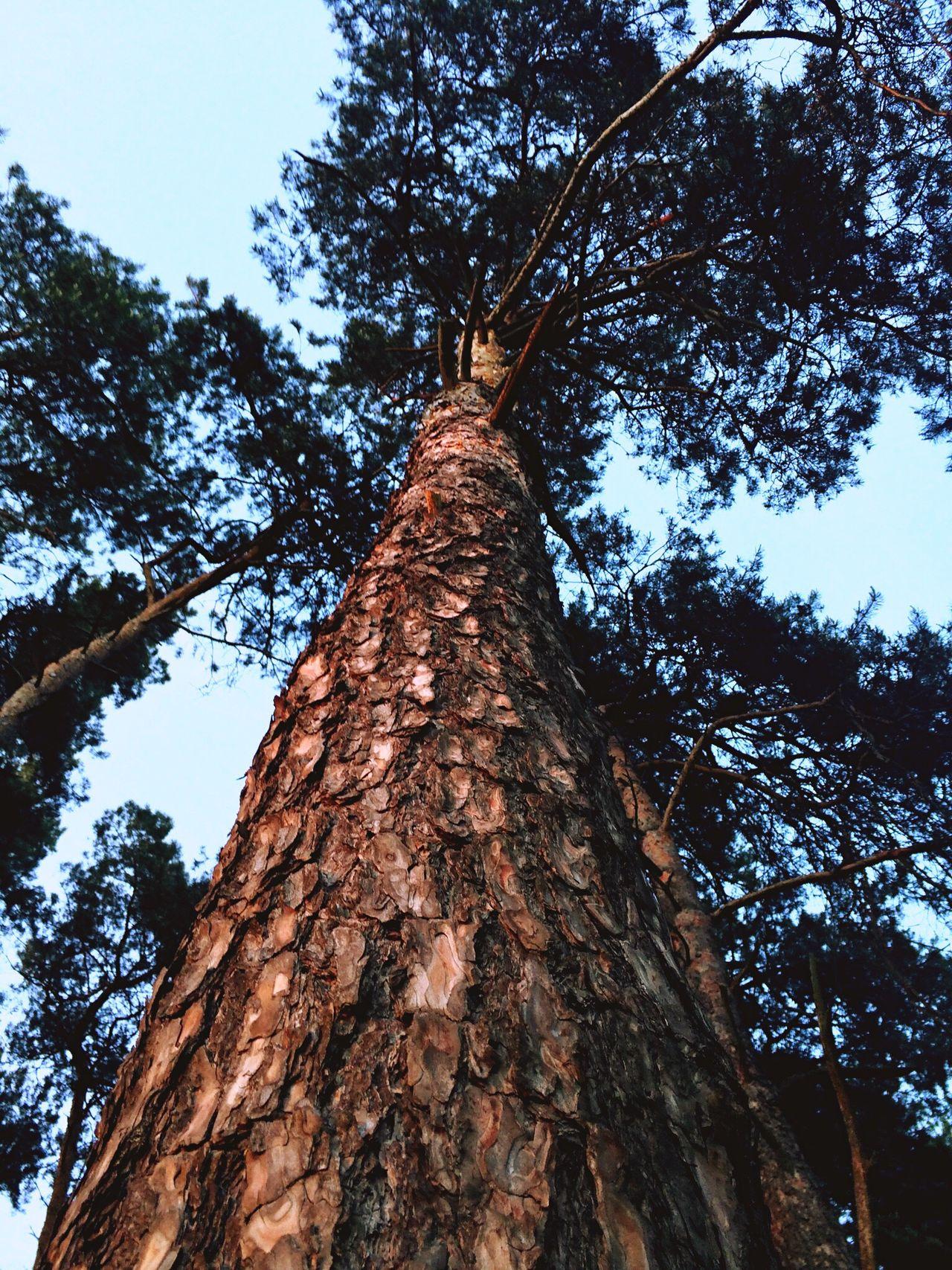 Nature Tree Pine Pinetree Freshness
