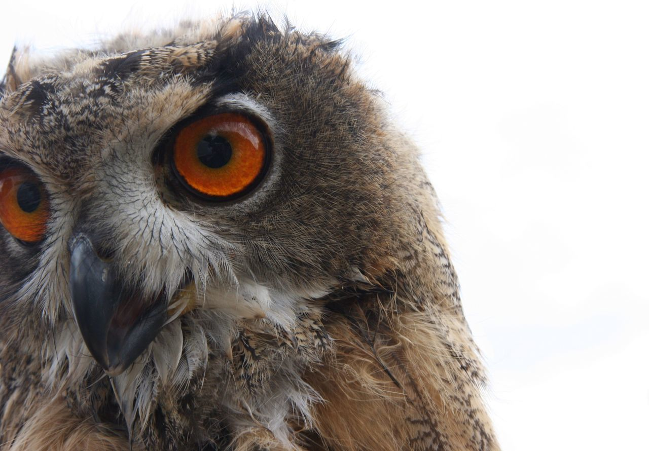Owl Bird Owl Eyes Owl Portrait. Close-up