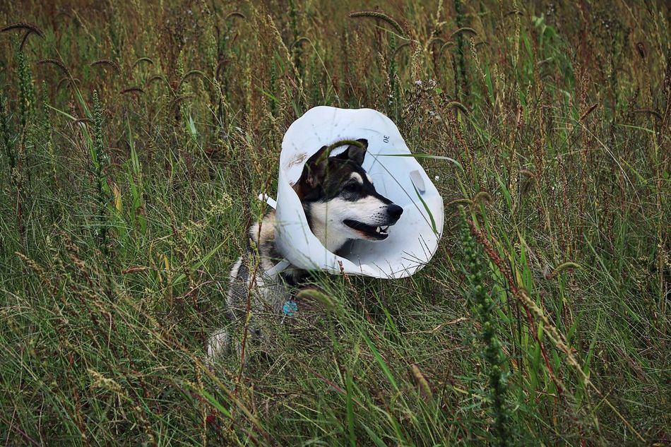 Animal Cone Head Dog Field Grass Grassland Loyalty Lying Down Outdoors Pets Valhalla