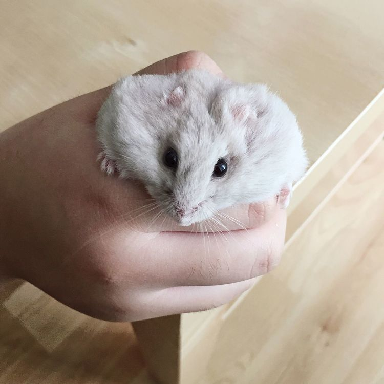 Pet Portraits Animal Themes One Animal Human Hand Pets Hamster Indoors  Domestic Animals Mammal Close-up Day