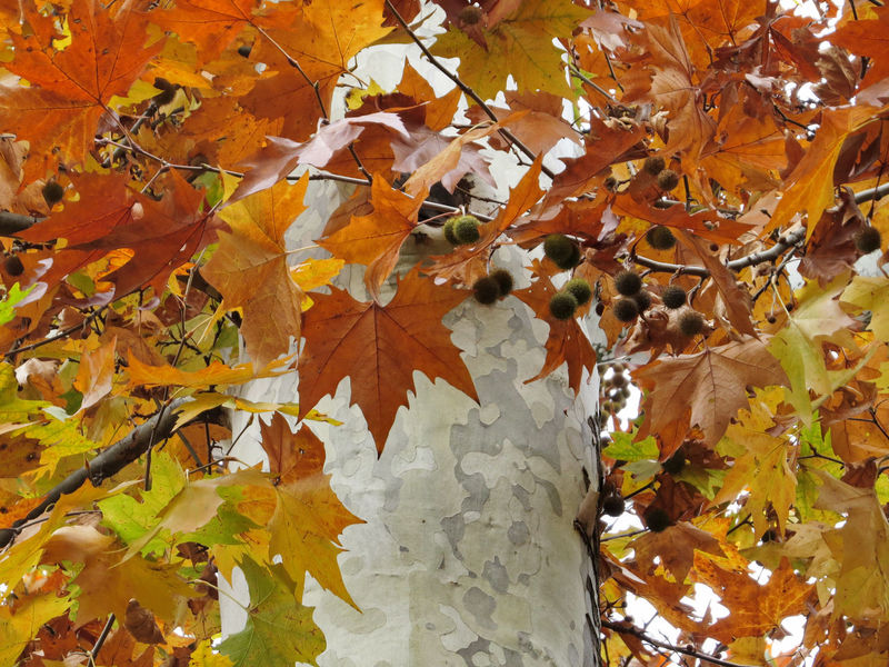 Colors Of Autumn Low Angle View Autumn Beauty In Nature Day Leaves Nature No People Outdoors Trunk White Bark