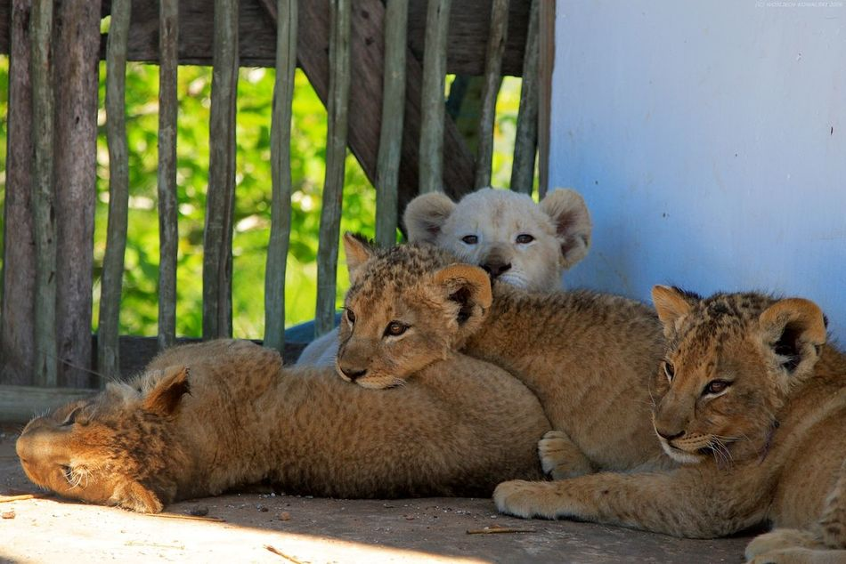Africa Animal Themes Animal Wildlife Animals In The Wild Day Lion Lion Cub Lions Mammal Nature No People Orange Outdoors Small South Africa Wild Wildlife