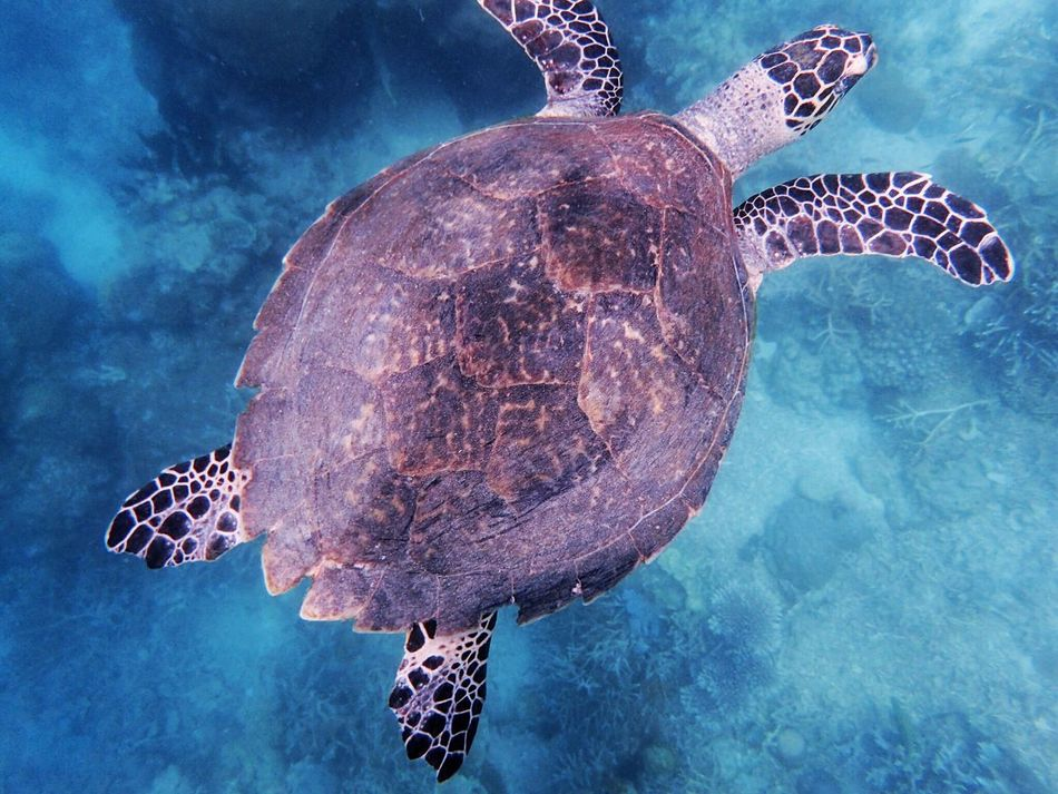 大海龟!! Underwater Turtle Sea Life Sea Turtle Animal Shell UnderSea Sea Animal Wildlife Animal Themes Swimming One Animal Animals In The Wild Reptile Water Tortoise Shell Nature Tortoise No People Close-up Outdoors