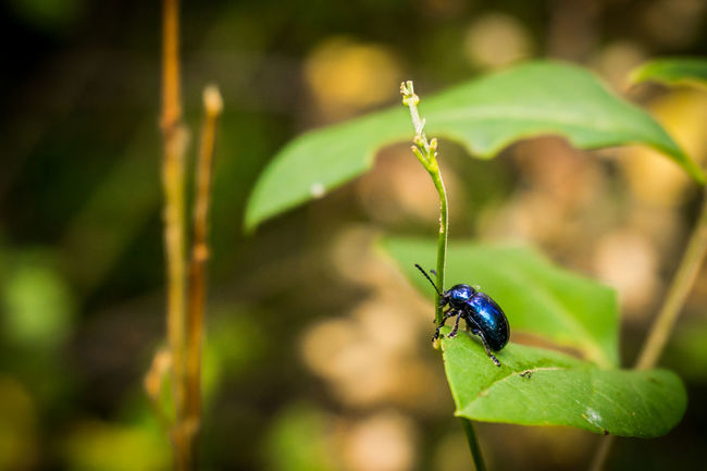 Cute little beetle Animal Themes Beetle Blue Beetle Blue Bug Bug Bug On Leaf Closeup Cute Cute Bug EyeEm Best Shots EyeEm Nature Lover Green Green Color Green Color Nature Nature Photography Nature_collection Outdoors Small Sony Sony A6000 Sonyalpha Summer Summertime Vignette