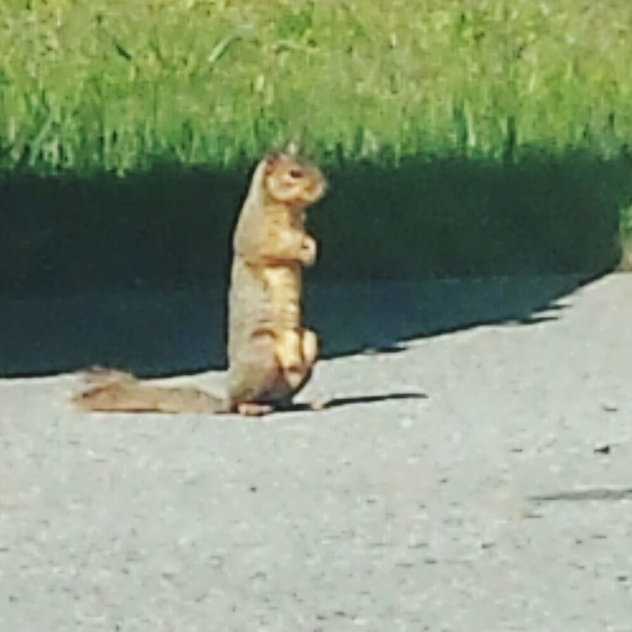 Squirrel at the End of the Street Squirrel Wildlife Anmial Rodent Sitting Pretty Sitting Alone Squirrel Posing
