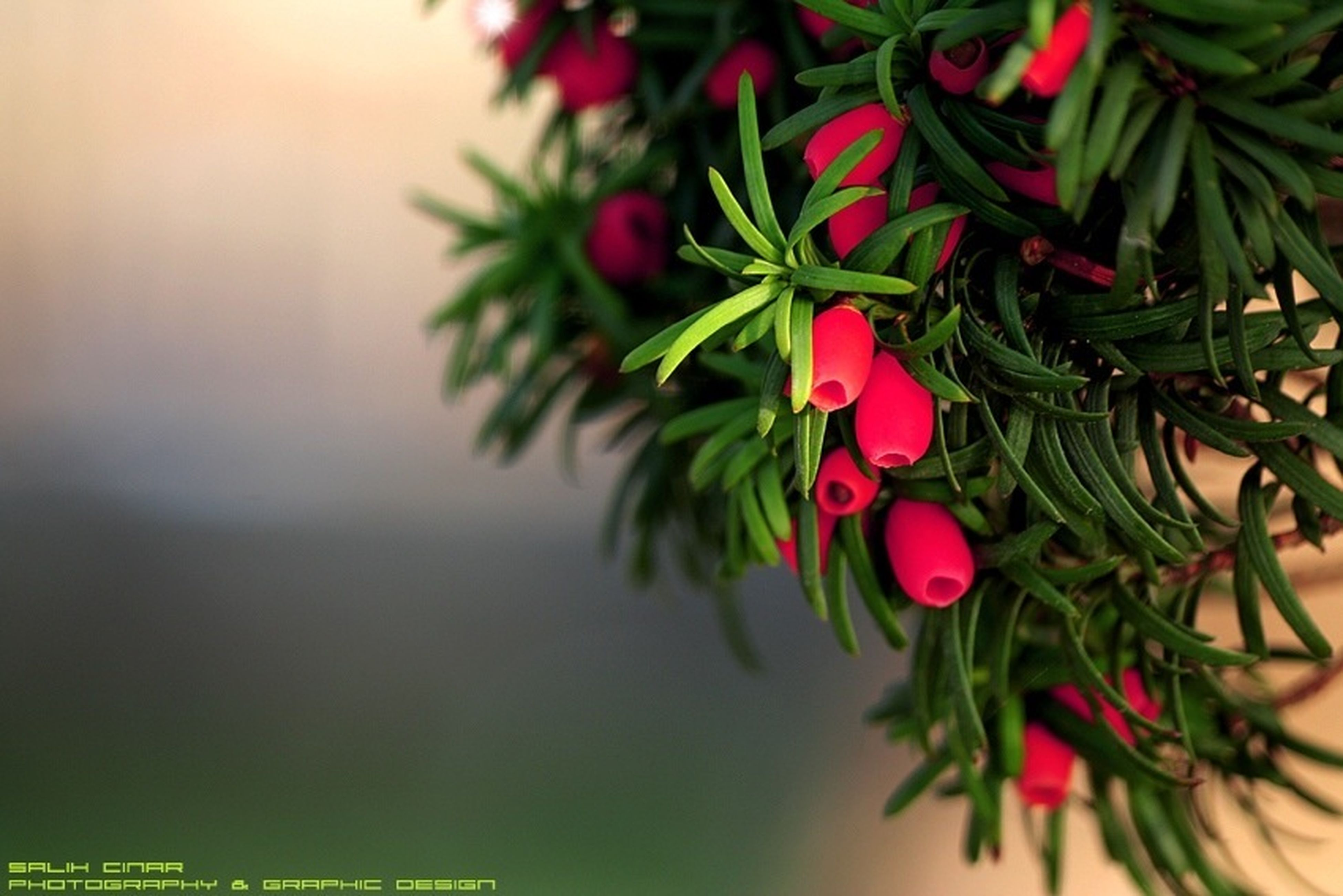 growth, freshness, red, leaf, close-up, flower, plant, focus on foreground, beauty in nature, nature, bud, stem, fragility, selective focus, branch, fruit, twig, green color, botany, no people
