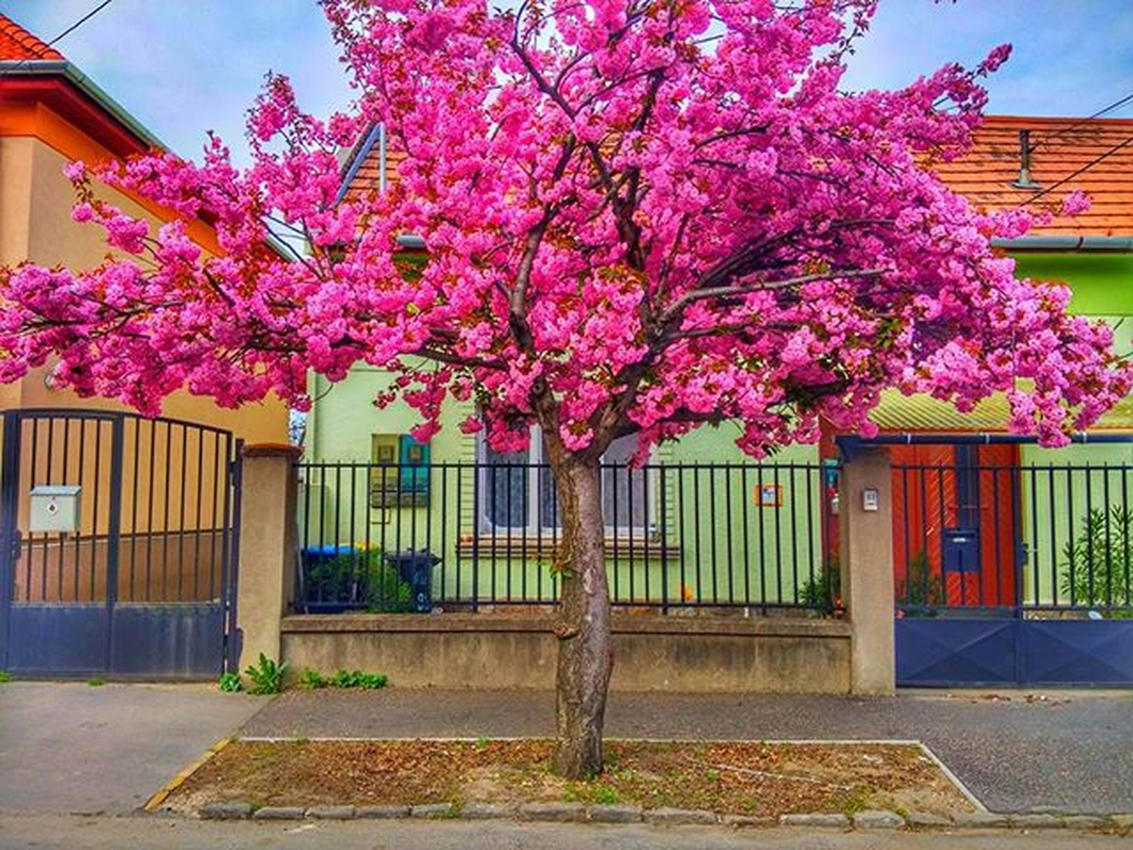 building exterior, flower, built structure, architecture, pink color, tree, growth, window, house, freshness, fragility, building, blossom, sunlight, day, outdoors, residential structure, city, nature, branch
