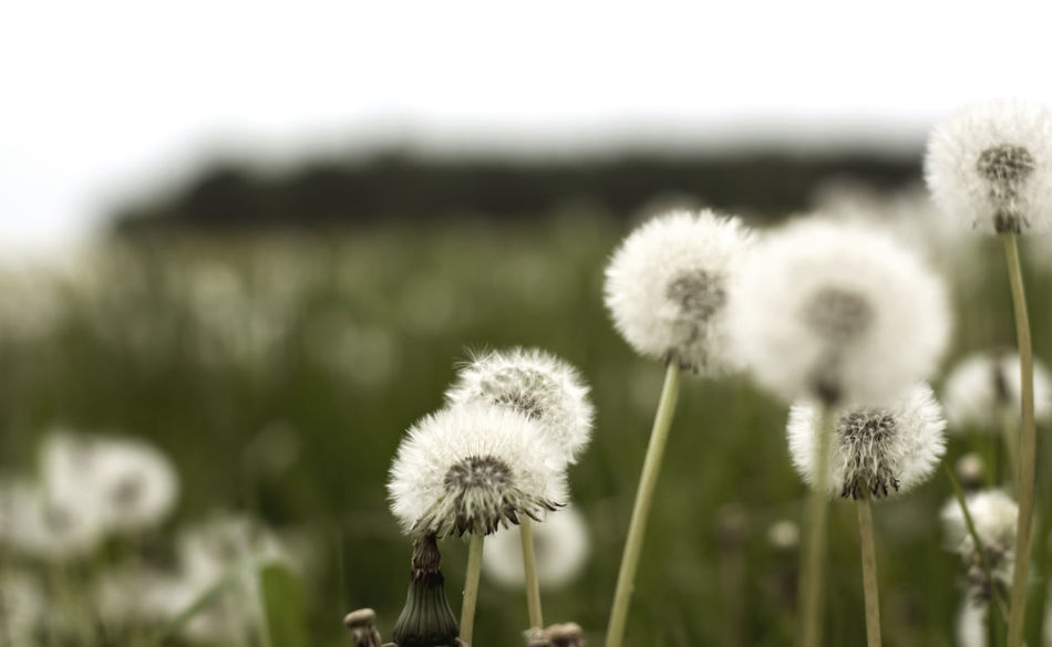 dandelion Blooming Botany Dandelion Flower Flower Head Focus On Foreground Freshness Nature Outdoors Plant Softness Wildflower