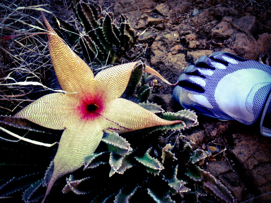 """Stinking"" cactus flower and stinky feet in synch Bizarre Floral Natural Pattern Trippy Cool Plant Weird Flower Cactus Flower Cactus Stinking Flower Stinky Footselfie Footsie Toe Shoes Intricate Pattern Bizarre Nature Strange Plants Strange Flowers Strange Floral Strange Flower Plant Cactus Collection Cactusflower Cactus Flowers Psychedelic Flowers Oahu Hawaii Oahu Hawaii"