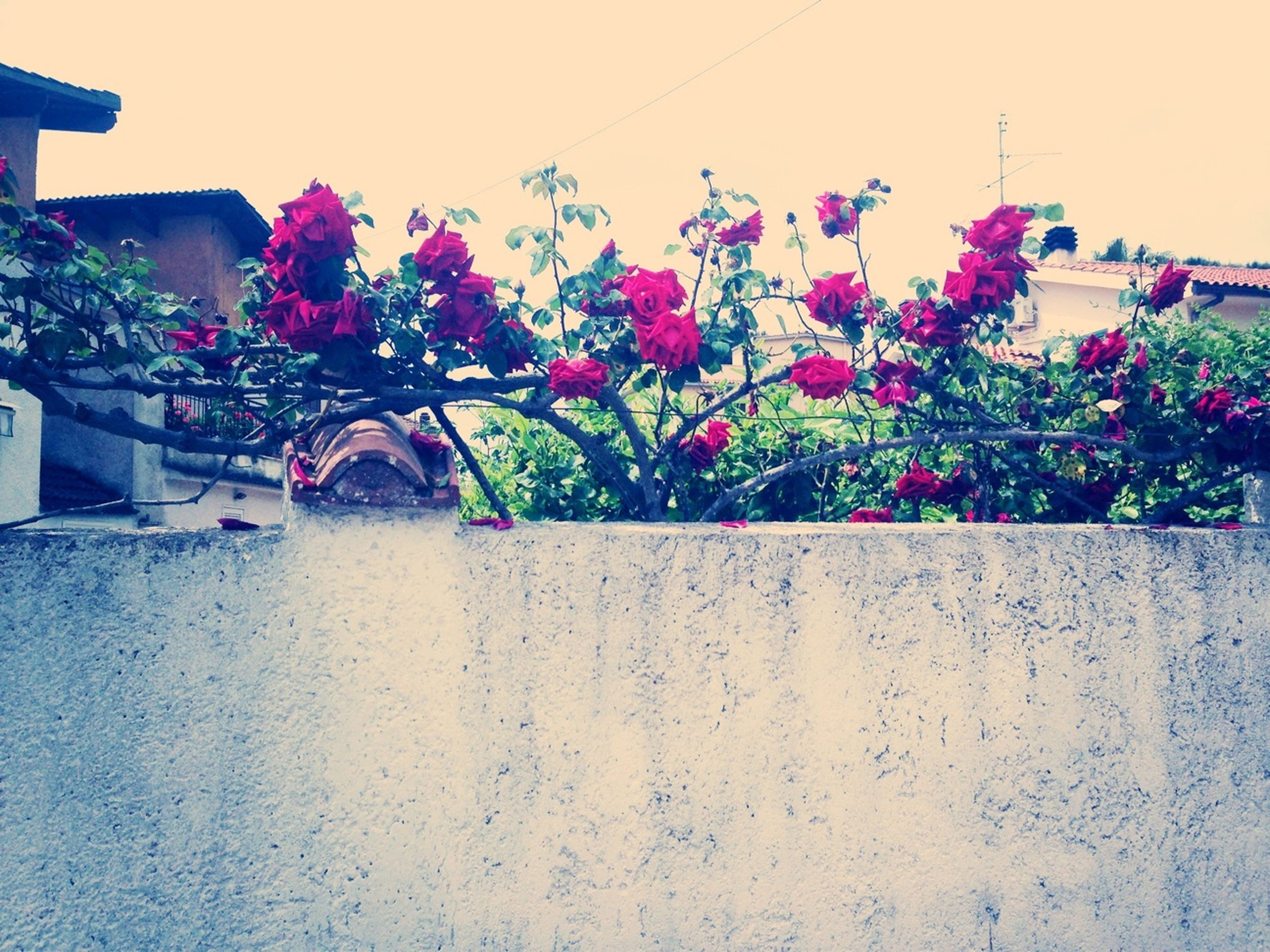 flower, built structure, building exterior, architecture, fragility, pink color, freshness, plant, growth, clear sky, blooming, wall - building feature, nature, petal, potted plant, beauty in nature, day, house, no people, sunlight