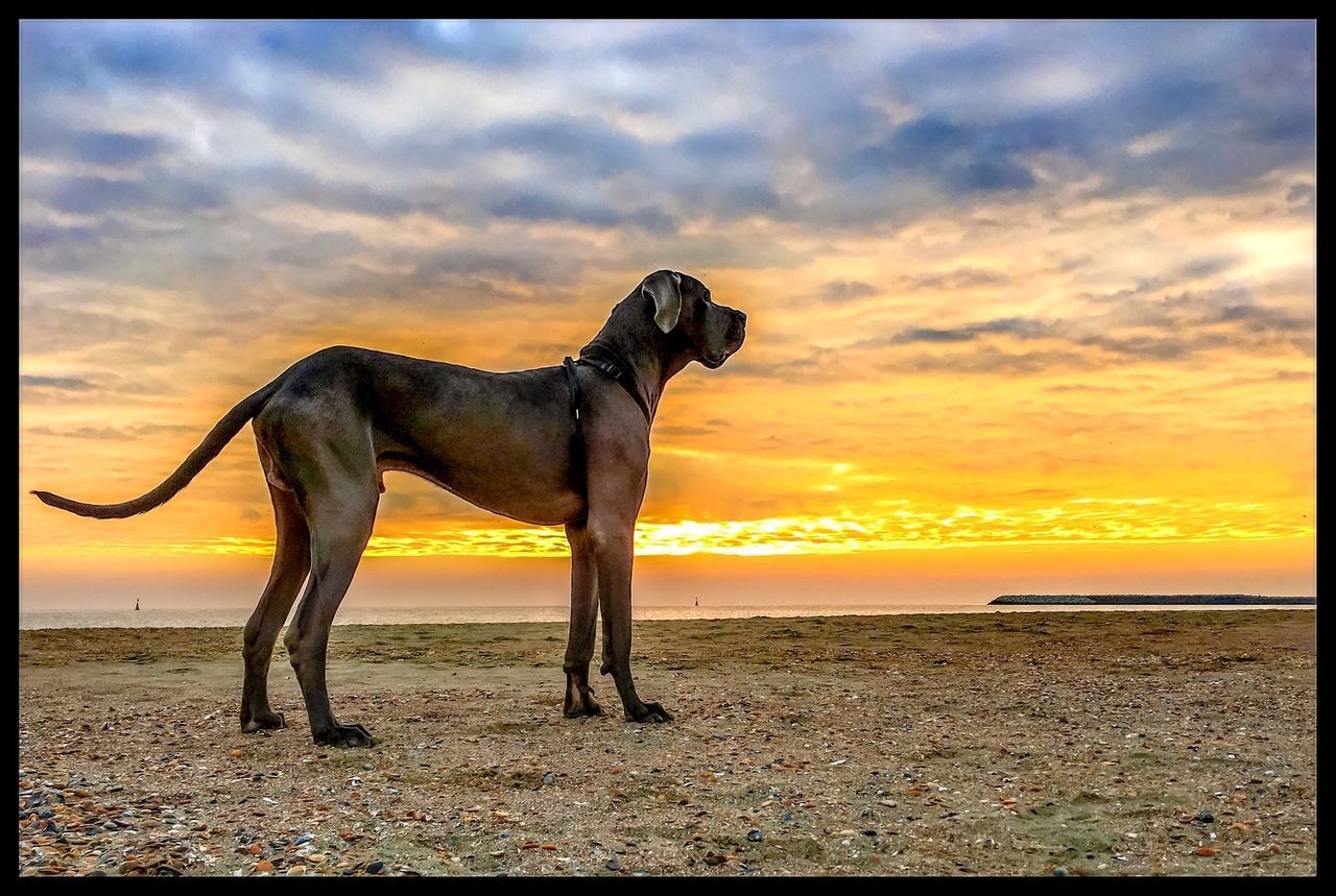Beautiful stock photos of great dane, Animal Themes, Auto Post Production Filter, Beach, Beauty In Nature