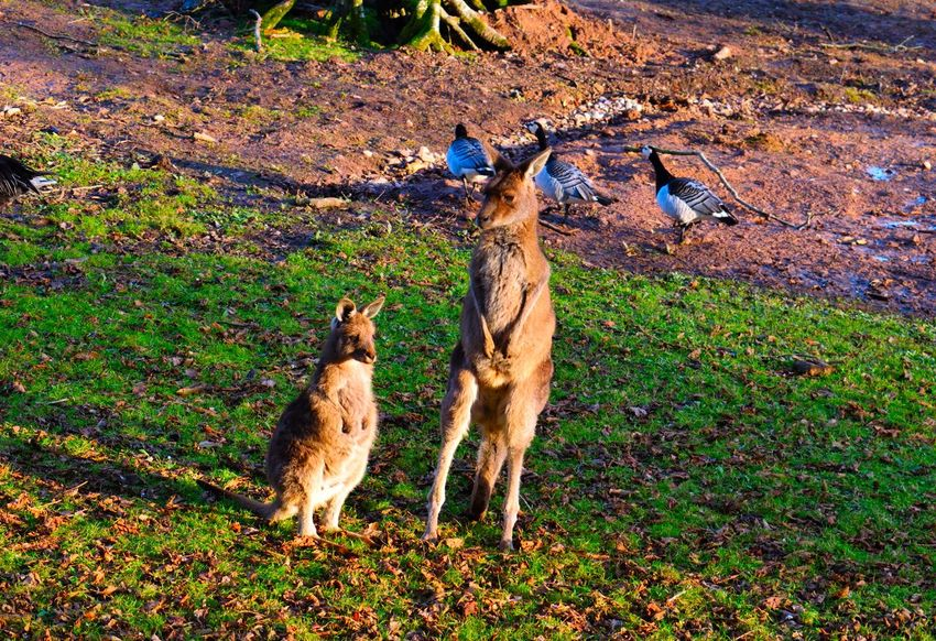 Animal Themes Animals In The Wild Baby Day Domestic Animals Field Grass Kangaroo Love Mammal Nature Nature Nature Photography Nature_collection No People Outdoors Sun
