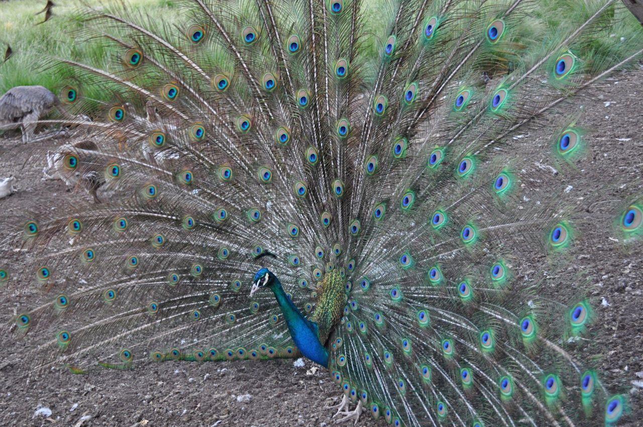 Beautiful stock photos of peacock,  Animal Behavior,  Animal Themes,  Animal Wildlife,  Animals In The Wild
