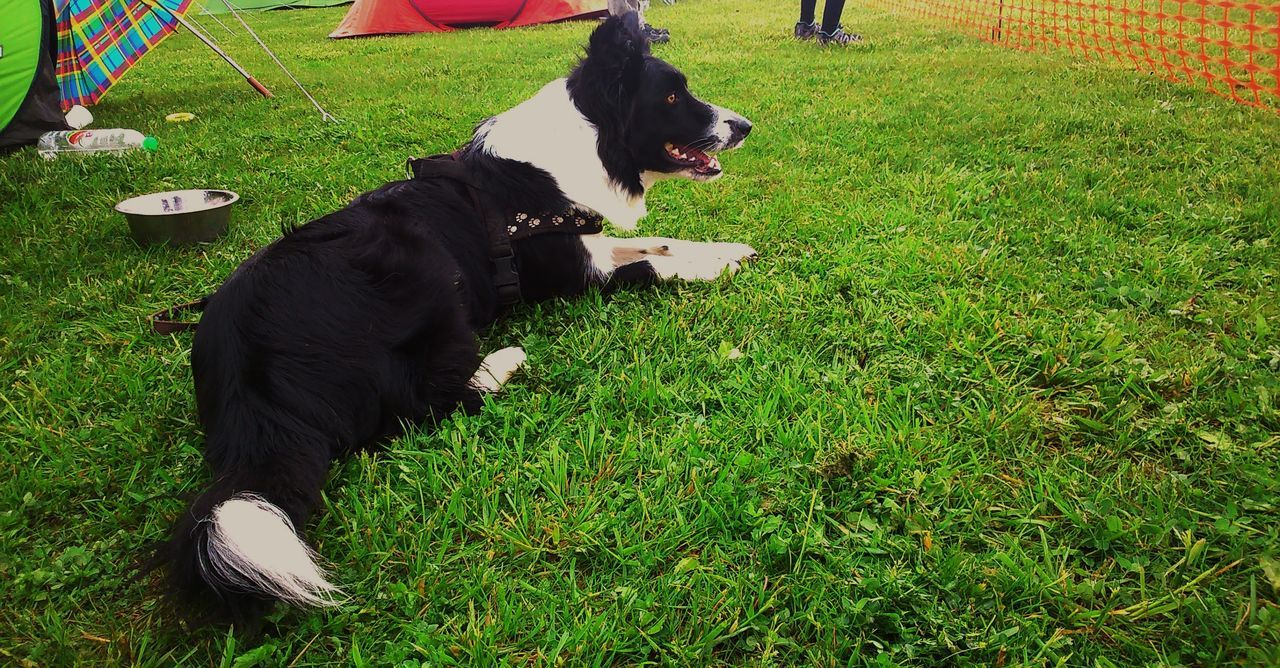 Dog at agility Border Collie Dog Agility Grass Beautifull Dog Hund Kutya