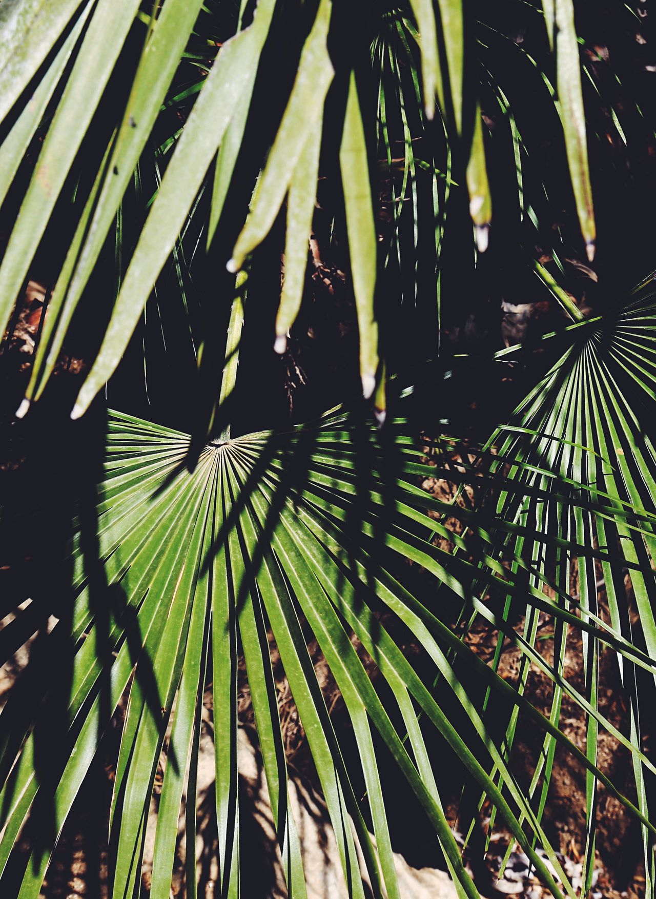 Growth Nature Leaf Beauty In Nature Frond Day Green Color Outdoors Tranquility No People Palm Tree Close-up Freshness Fragility Tree Nature Vsconature Nature Photography Palm Tree Leafs