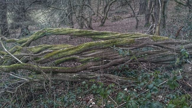 Twisted TwistedWood Fallen Tree Hawthorne Twisted Tree Twisted Trunk Twisted Dream Nature Twist Why? TreePorn Tree_collection  Twisting Up Hdr Edit