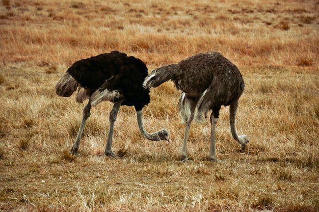 Two Is Better Than One Ostrich Dry Grass Contrast HDR Lunch Nature Photography Africa High Definition Animal Nature Life Wildlife Best Friends