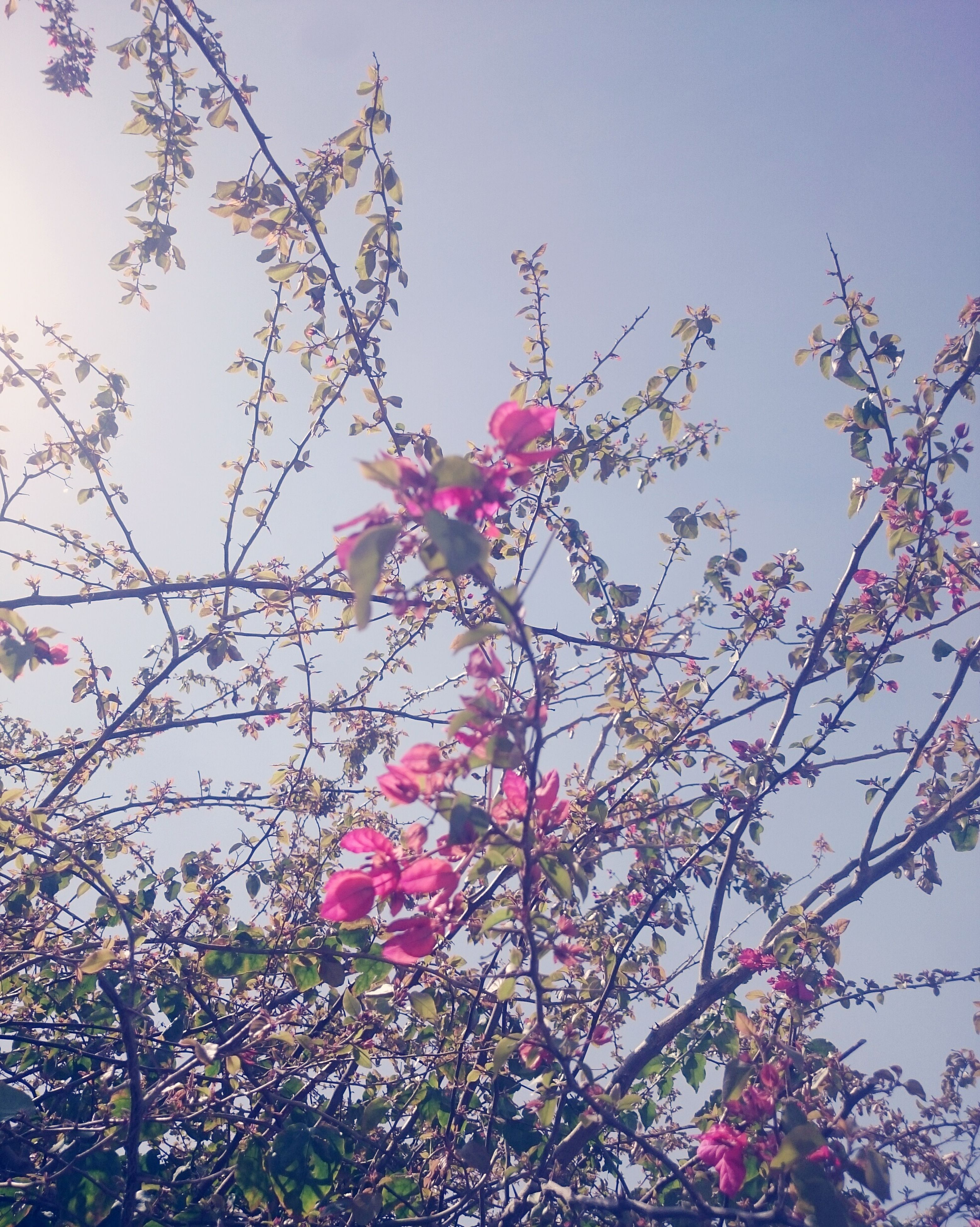nature, pink color, growth, low angle view, flower, tree, beauty in nature, freshness, sky, branch, no people, outdoors, fragility, petal, day, springtime, blooming, clear sky, close-up, magnolia, plum blossom