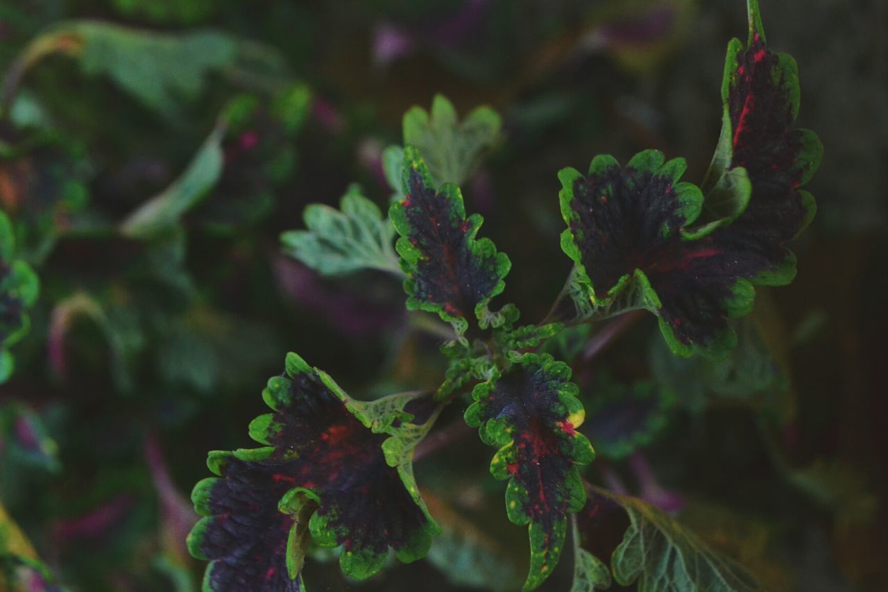 Leaf Plant Herb Green Color Nature Growth Close-up No People Dark Purple Purple Marks Outdoors Day Nature