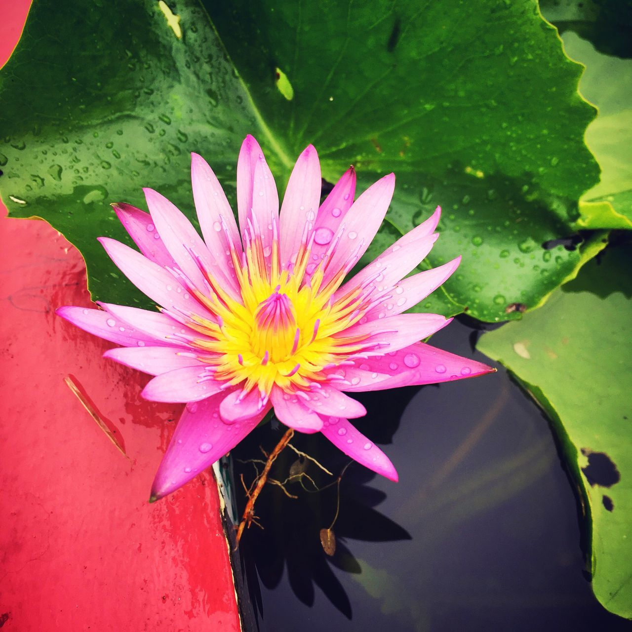 flower, beauty in nature, petal, nature, freshness, flower head, fragility, growth, plant, close-up, pink color, leaf, high angle view, outdoors, no people, day, blooming, lotus water lily, water