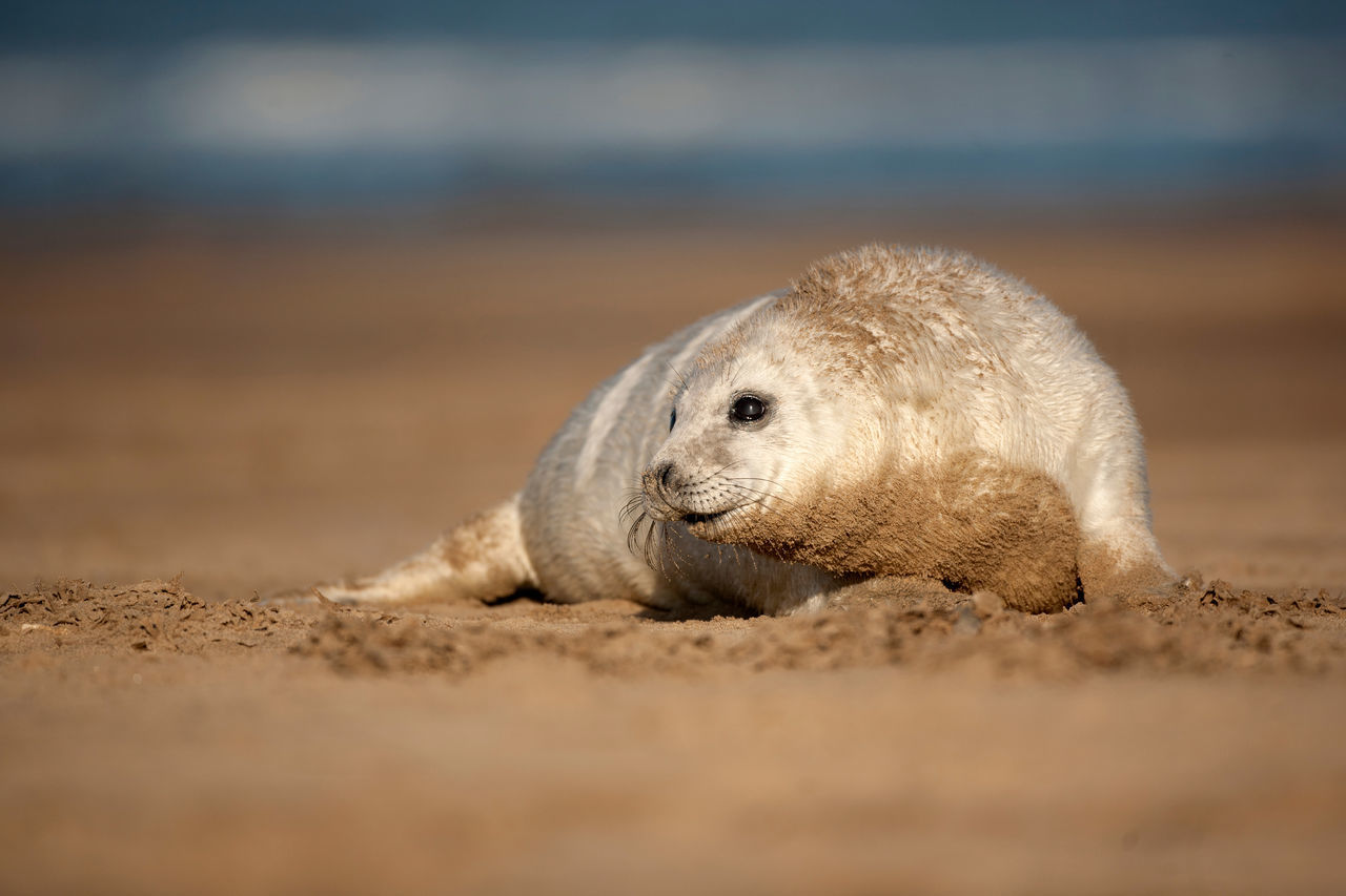 one animal, sand, beach, animals in the wild, mammal, nature, animal wildlife, animal themes, day, outdoors, no people, relaxation, sea, sand dune, aquatic mammal, close-up, sea life