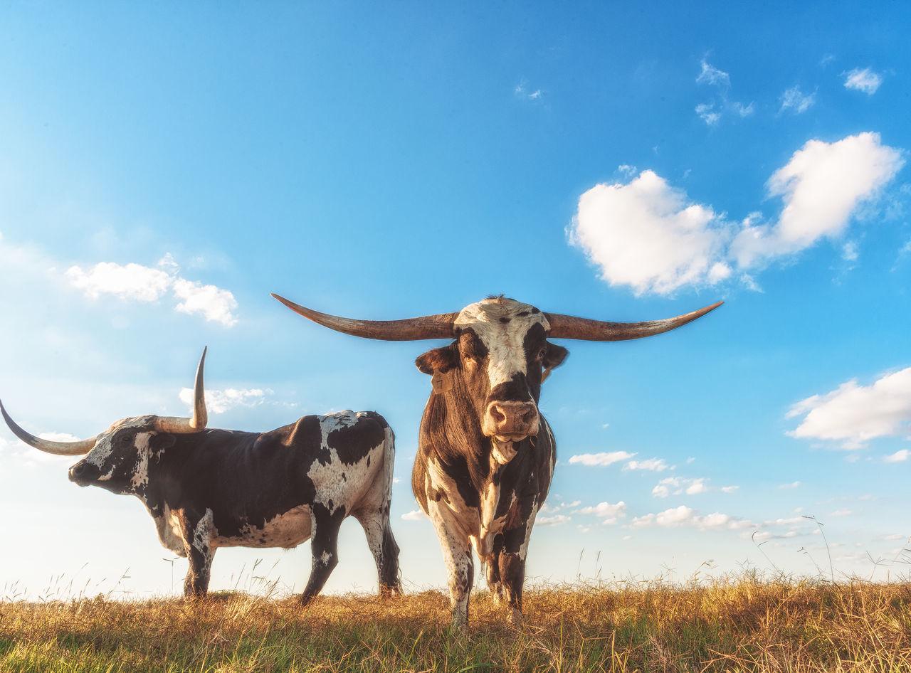 Beautiful stock photos of totenkopf,  Animal Themes,  Blue,  Bull - Animal,  Cloud - Sky