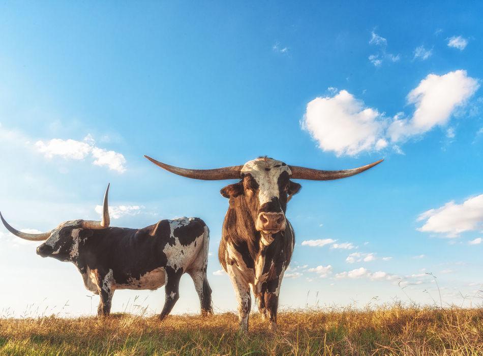 Beautiful stock photos of texas,  Animal Themes,  Blue,  Bull - Animal,  Cloud - Sky