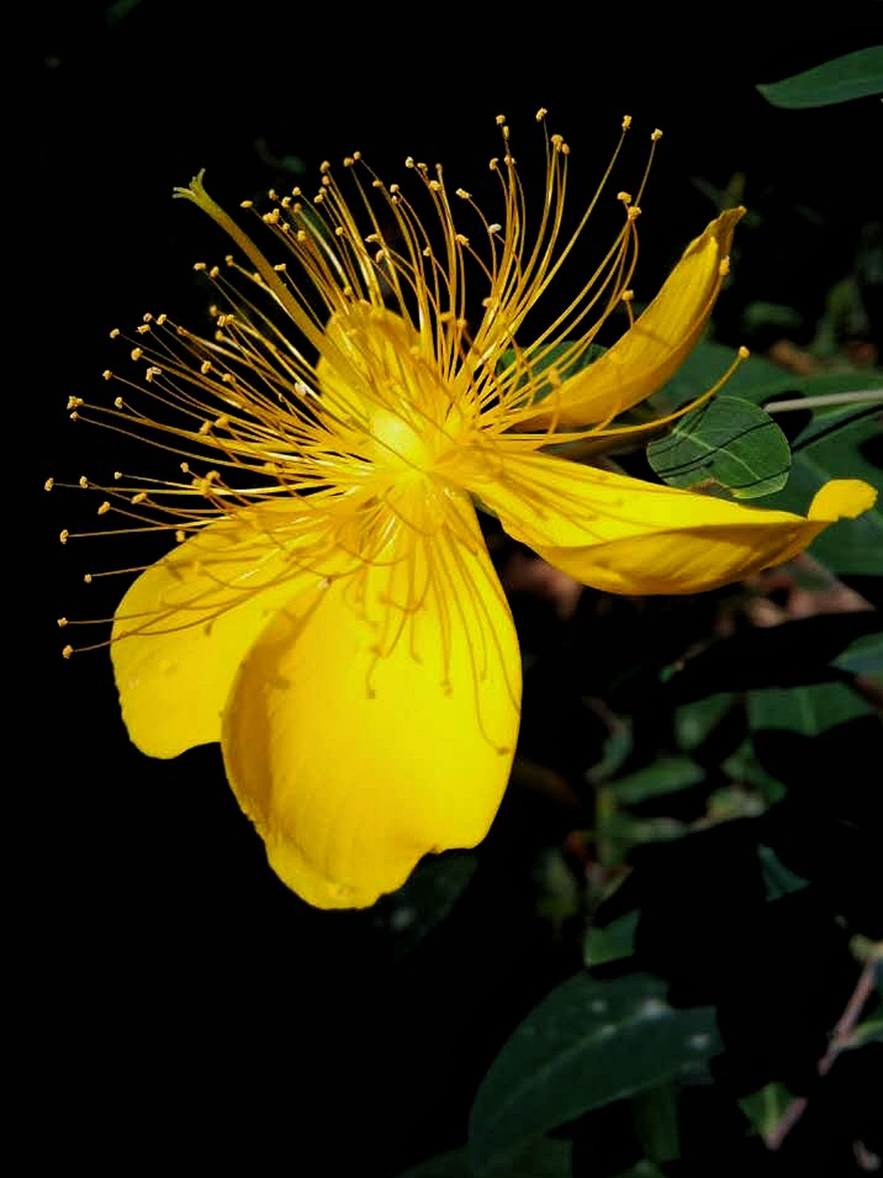 flower, petal, flower head, freshness, fragility, single flower, beauty in nature, growth, close-up, yellow, nature, blooming, pollen, plant, black background, studio shot, in bloom, stamen, night, blossom
