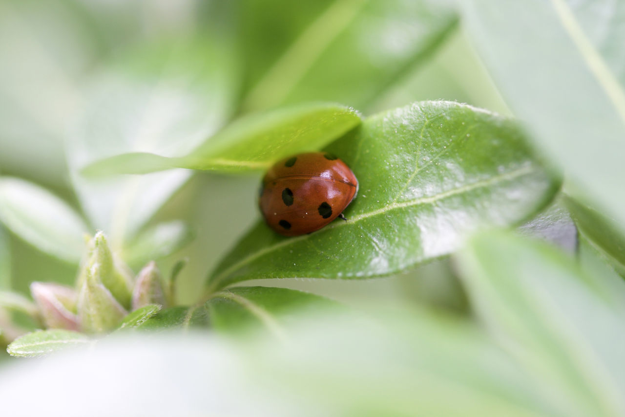 leaf, one animal, insect, green color, animal themes, ladybug, animals in the wild, close-up, selective focus, tiny, plant, no people, nature, day, outdoors, fragility