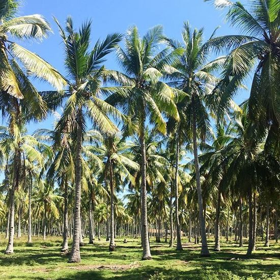 Can't get enough of palm trees! 🌴🌴🌴Ubud MonkeyForest Ricefields Palms Bali Nature Tropical Greenlife Backpacker INDONESIA Beautyiseverywhere Beauty Travelling Travelshare Travelblog Travels Travelblogger Travelpic Sky Clouds Travelpicture Travel Traveltheworld Traveladdicted Traveldiary flowers flowermarket