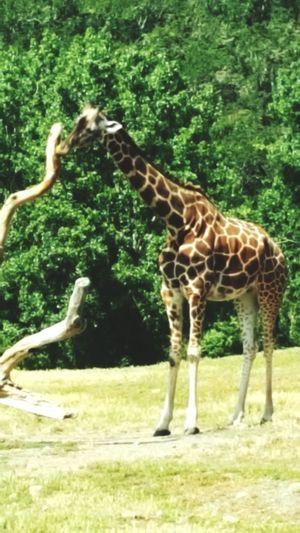 Giraffe♥ Giraffe At Safari West