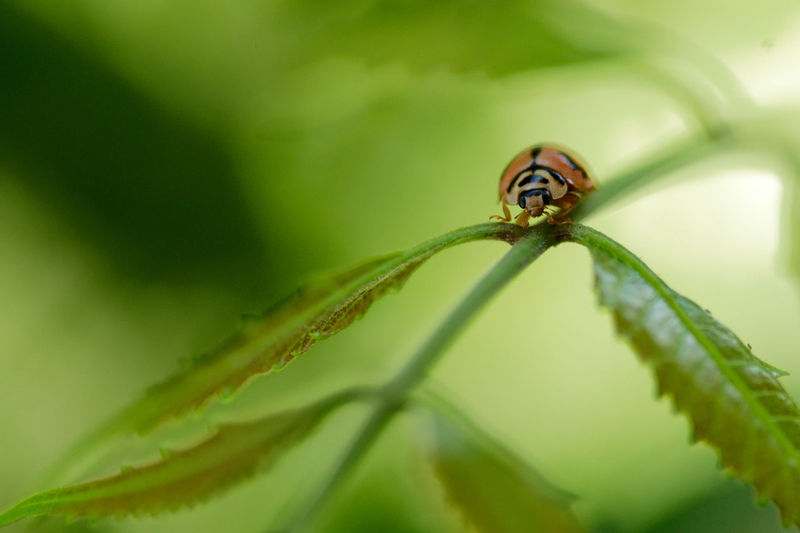 Ladybug Ladybug Neem Animal Themes Animal Wildlife Animals In The Wild Beauty In Nature Close-up Day Green Color Growth Insect Leaf Nature Neem Tree No People One Animal Outdoors Plant Selective Focus